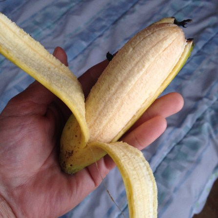 The perfect banana... just enough, not too much. These grow on the farm.