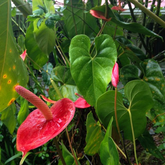 The anthurium are rich salmon, some mottled with peach or pale yellow colors.