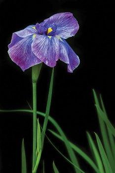 Purple Iris by Janet Ballard