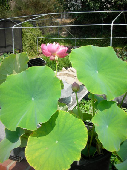 Aquatic Pond Plants Pink Lotus Mrs Perry D Slocum