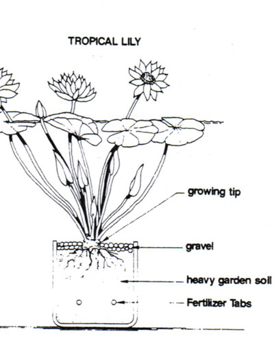 nymphaea lily diagram