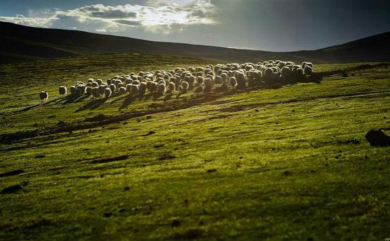 Закят: Перегонка скота по полю, предназначенного для торговли