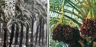 Финики на пальме росли, когда родился пророк Иса (Иисус), мир ему