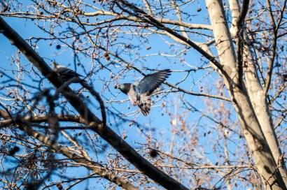 Ein blå himmel og ei due som spreier vingane ut