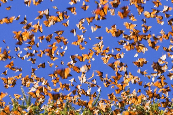 Απίστευτες εικόνες από μεταναστευση πεταλούδων3
