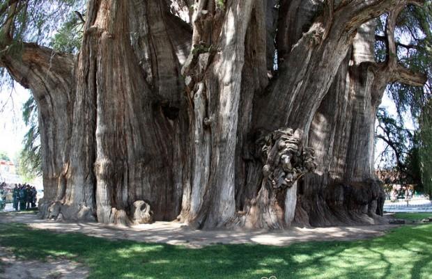 Το 2000 ετών δέντρο του Μεξικού