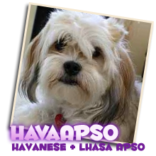 Hava Apso puppies for sale