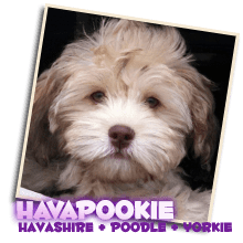 Designer Dog Puppies! Smart, Happy, Lap-Size, Non-Shedding Pups!