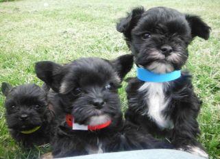 Teacup YorkiPoo Puppies