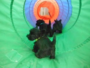 Trouble's Teacup YorkiPoo Puppies at 6 Weeks