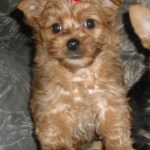 chocolate brown yorkipoo puppies for sale