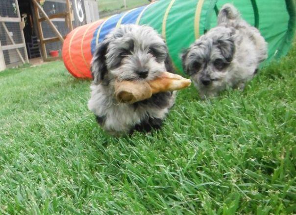 YorrkiPoo PookiePom Speckled Blue Merle puppies