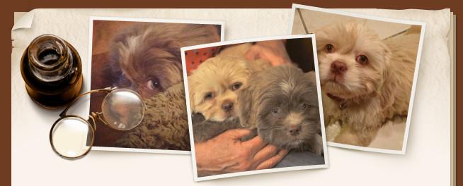 Goldilocks' ShihApso Puppies