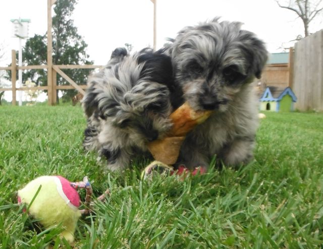 YorrkiPoo PookiePom Speckled Blue Merle puppies