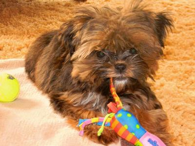 Chocolate brown shorkie (ShihTzu mix Golden Yorkshire Terrier) puppies for sale