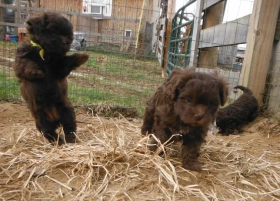 Chocolate ShihPoo puppies for sale (Shih Tzu Toy Poodle mix breed)