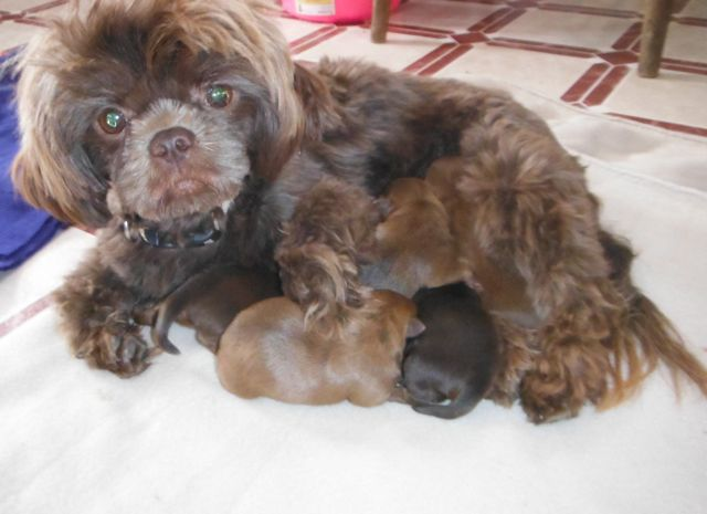 chocolate shorkie puppies for sale brown shihtzu yorkie mix breed