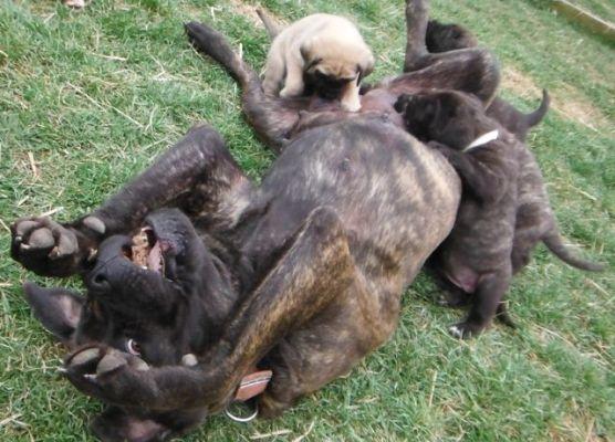 Old English Mastiff Puppies for sale breeder