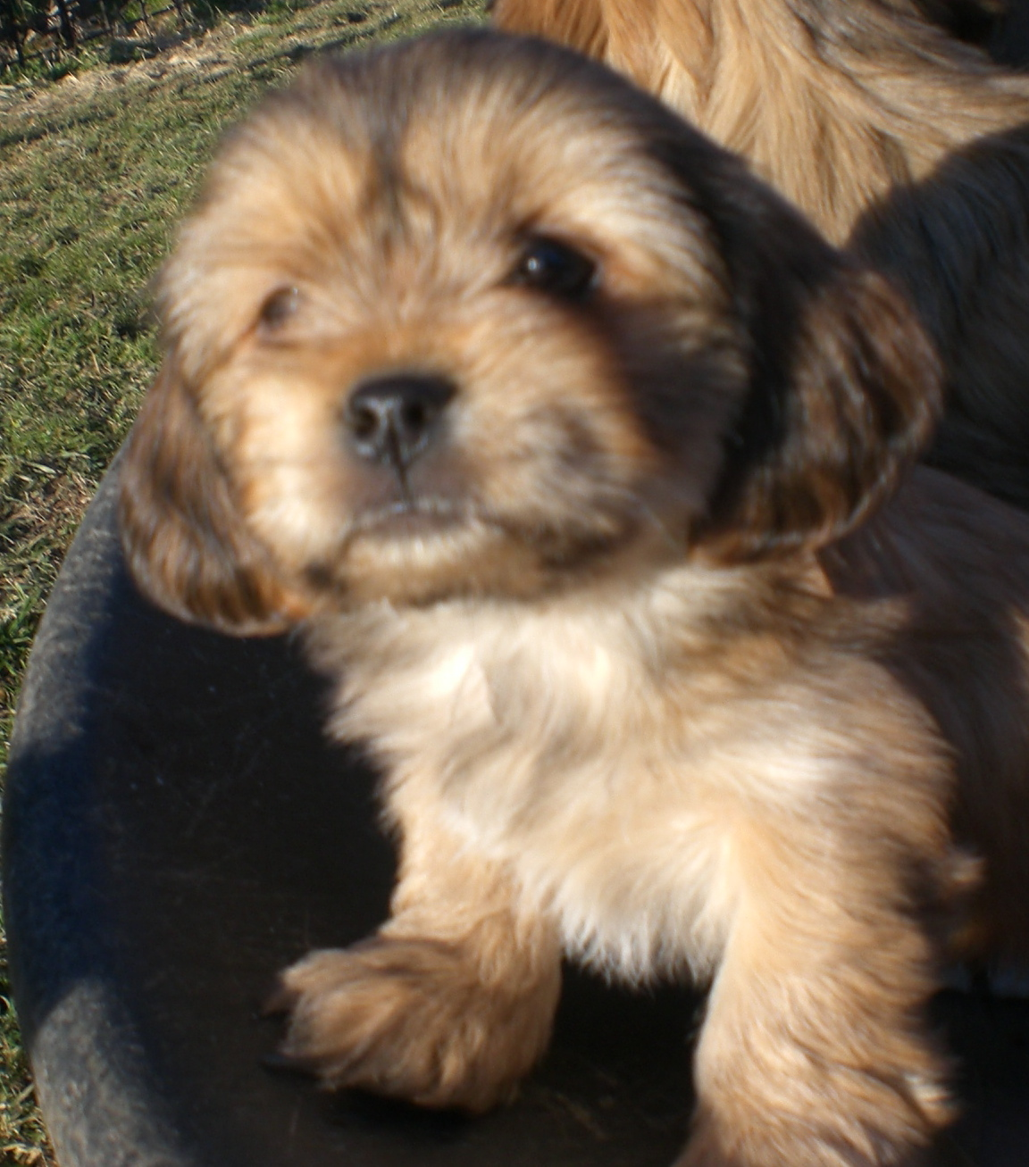 Havanese Mix Puppies For Sale Ontario - uniscool com