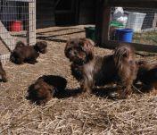 Shorkie Tzu Shih Tzu Yorkshire Terrier mix breeder puppies for sale chocolate brown
