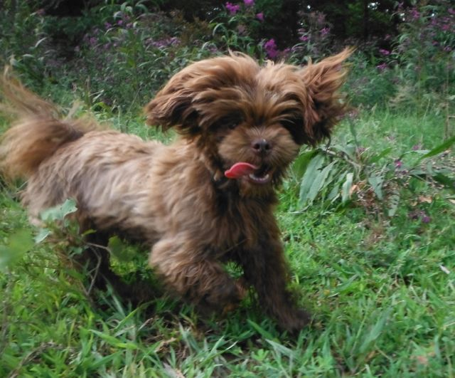 Chocolate brown ShihTzu puppies for sale breeder