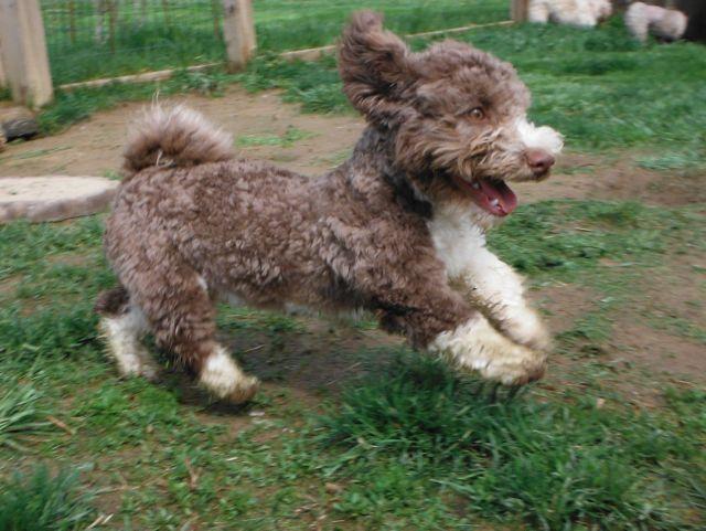 Havanese Havashire HavaPoo HavaApso puppies for sale