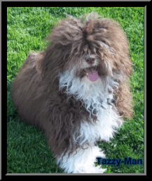 Havashire & HavaPoo puppies for sale Havanese mix w poodle / Yorkie breeder