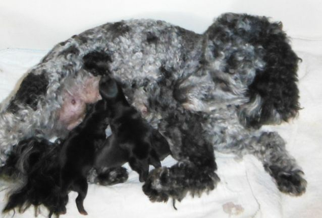 YorkiPoo puppies for sale ohio