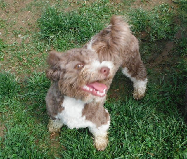 chocolate brown tuxedo Havanese mix puppies for sale oh