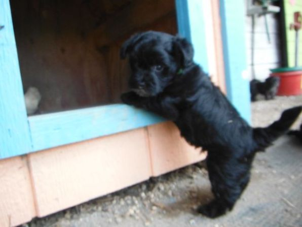 Black Toy YorkiPoo puppies for sale