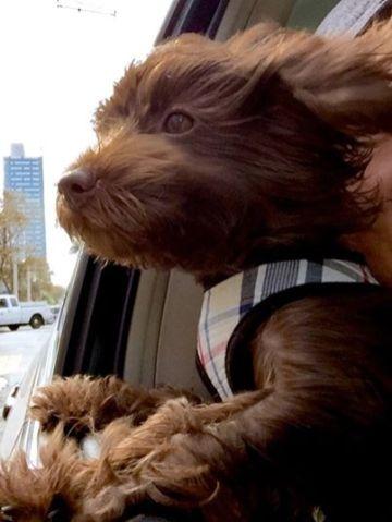 Yorkshire terrier poodle havanese puppy breeder ohio