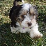Havanese Lhasa Apso puppy for sale