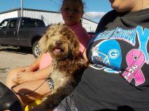 HavaPoo Havanese Mini Poodle breeder Ohio