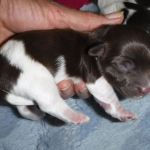 Yorkie Havanese Poodle Puppy
