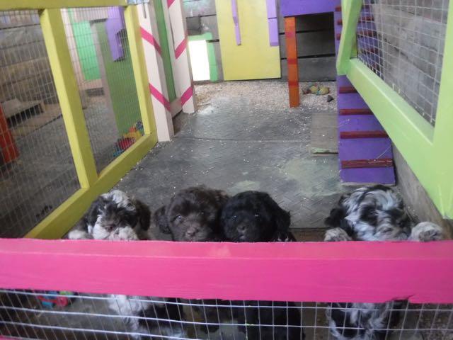 Breeding & Raising Puppies