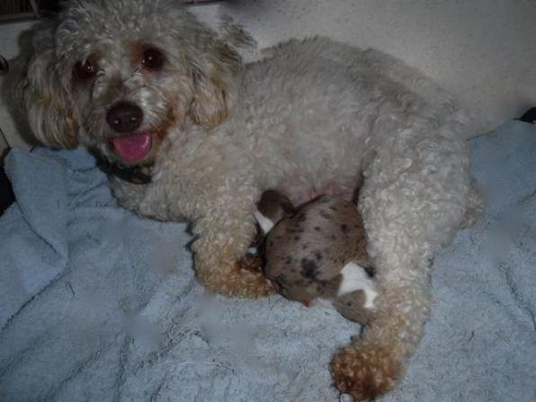 Dixie Chick & her Newborn YorkiPoo Pups!