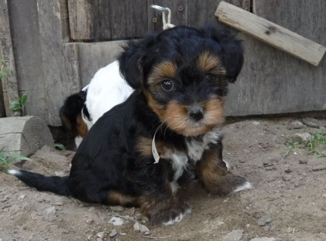 YorkiPoo Puppy