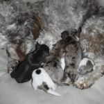 HavaPoo & YorkiPoo Puppies for sale