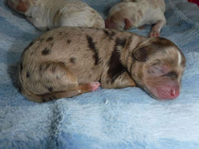 HavaPoo Puppy #2 - Male Chocolate/Tan Merle Tuxedo