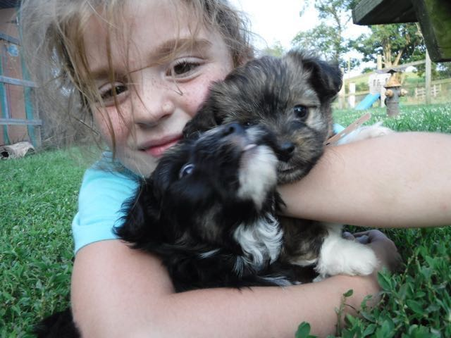YorkiePoo Puppies for sale, HavaPoo Puppies for sale, Small Non-shedding puppies for sale , hypoallergenic puppies for sale