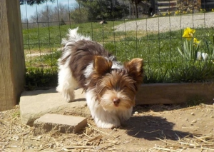 Chocolate Tux Yorkshire Terrier Puppies