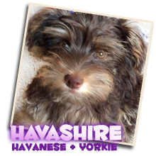 Havanese Yorkshire Terrier mix breed puppies for sale