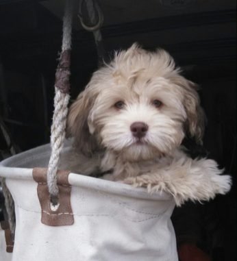 Havanese Poodle mix breed puppies for sale Breeder