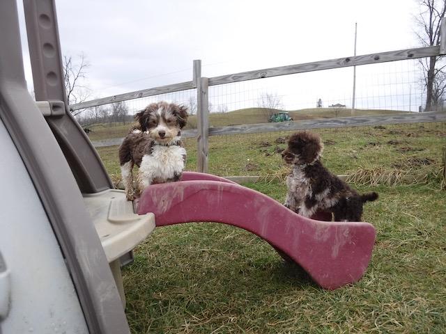 Havanese HavaPoo Havashire Puppies for sale Breeder