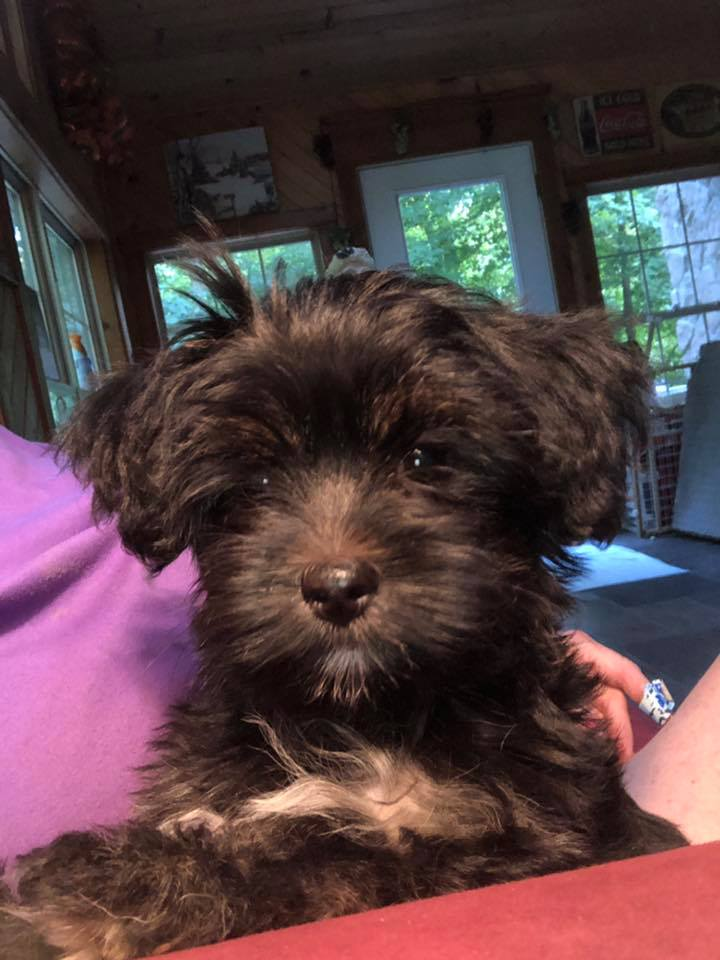 Havashire Havanese Yorkshire terrier mix-breed puppies for Sale Breeder