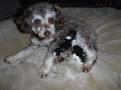YorkiPoo and HavaPoo AKA HavaNoodle and Poovanese Puppies for sale Breeder
