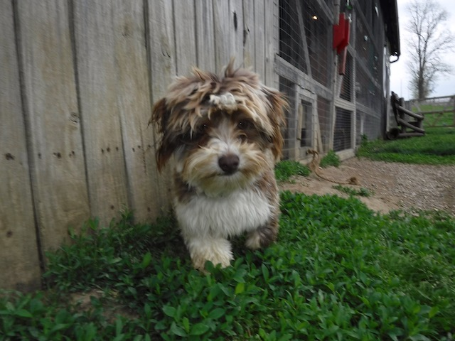 Havanese puppies for sale breeder