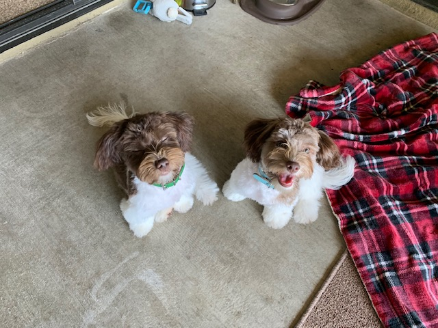 Havanese Yorkie Lhasa Apso mix puppies for sale