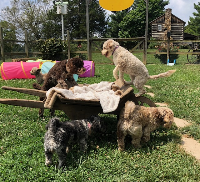 Poodle Havanese mix breed HavaPoo puppies for sale breeder
