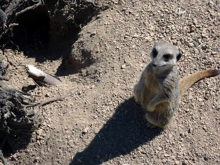 Visiting London Zoo meerkat